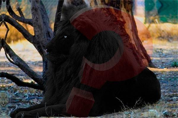 Черногривый лев