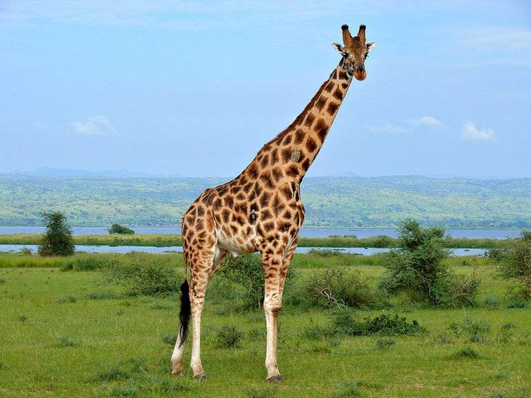 Окраска жирафа