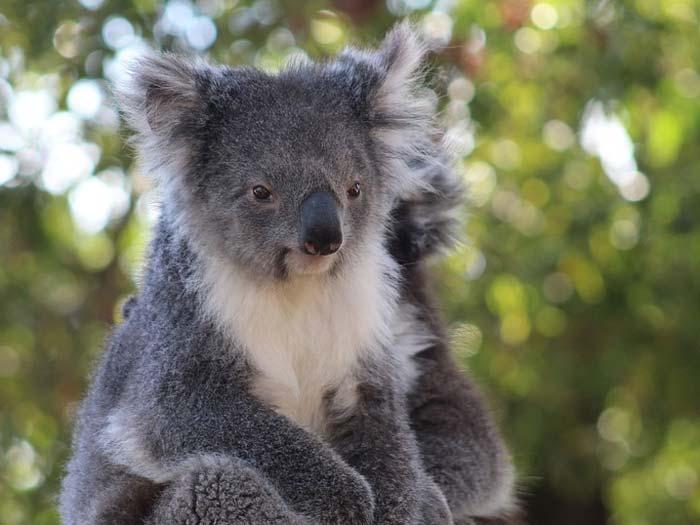 Рассказ про коалу