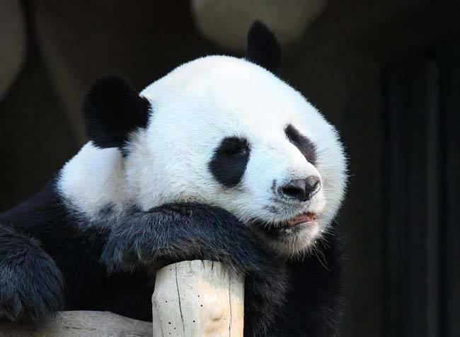 Проект про панду