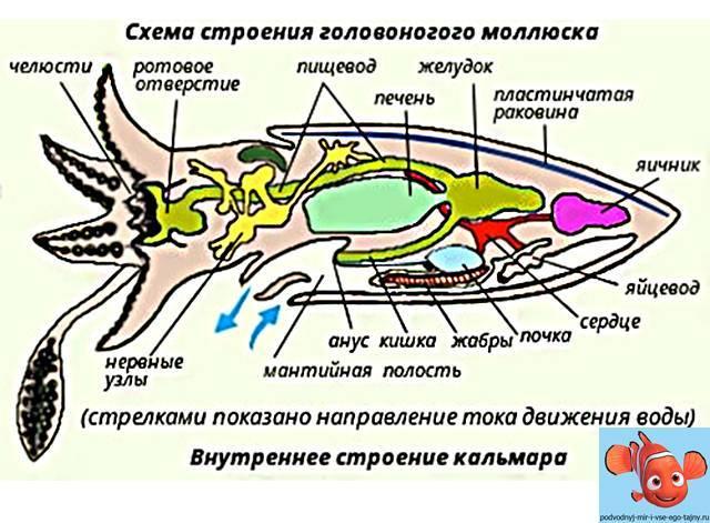 Моллюски список названий