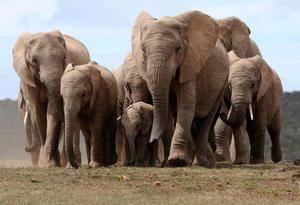 Где живет слон на каком материке