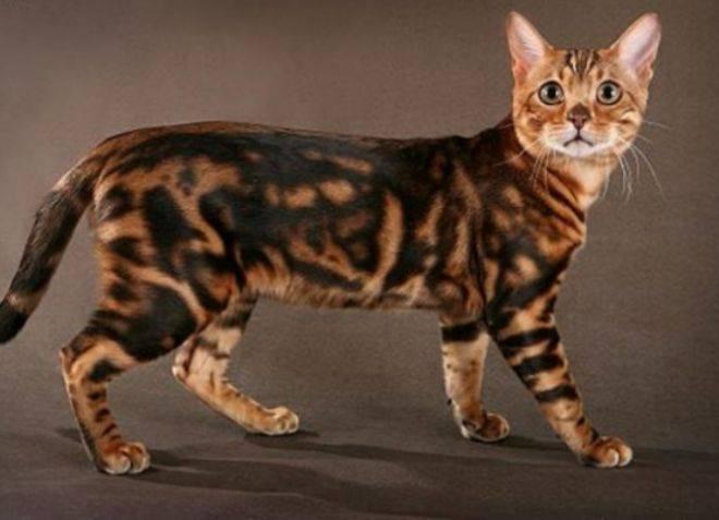 Виды бенгальских кошек