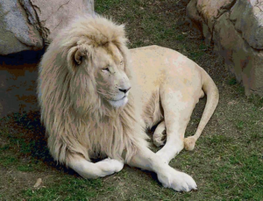 Черный лев всего 2 на земле