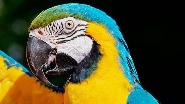 Жёлтый ара