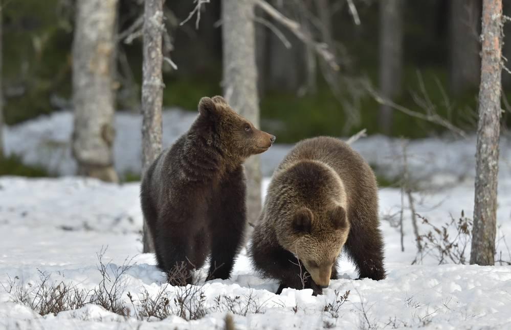 В какое время года рождаются бурые медвежата