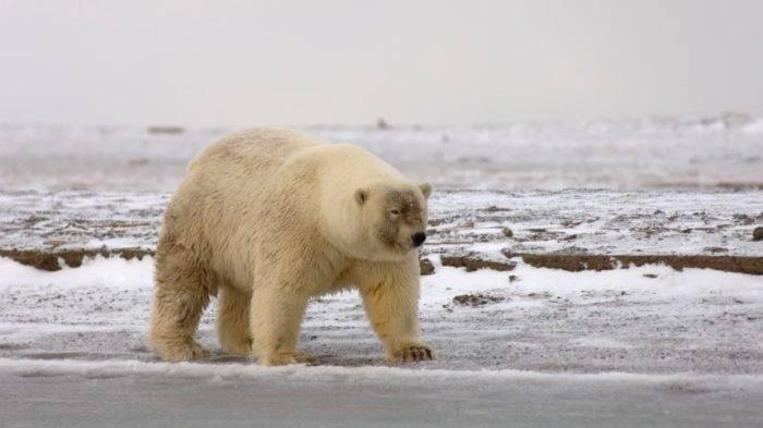 Маленький белый медведь