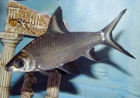 Рыбка акула
