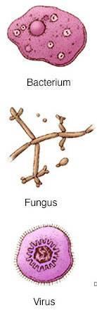 Грибок это бактерия