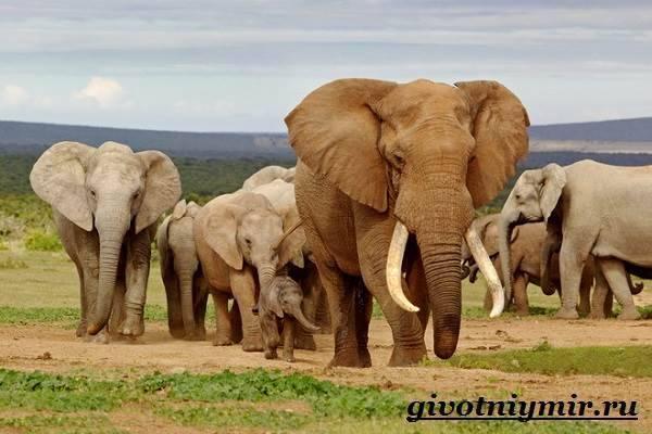 Породы слонов