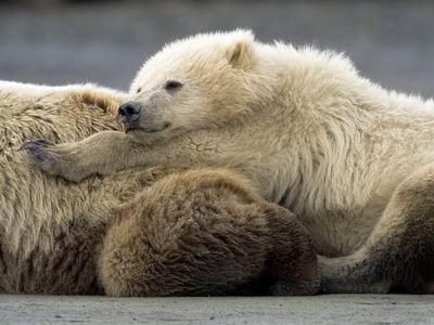 Когда рождаются медвежата у бурых медведей