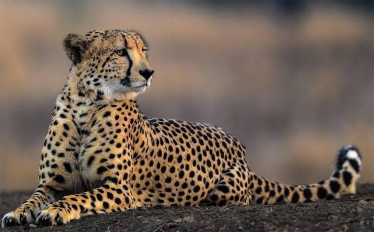 Самое быстрое животное в мире гепард
