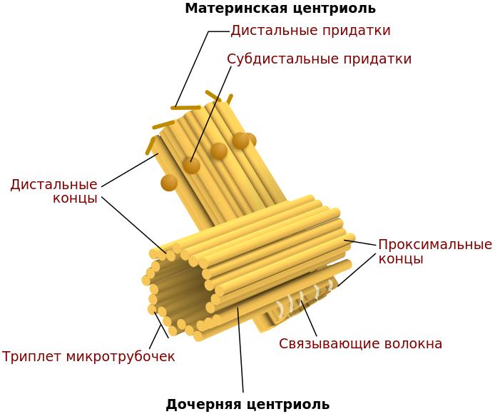 Центриоль строение и функции