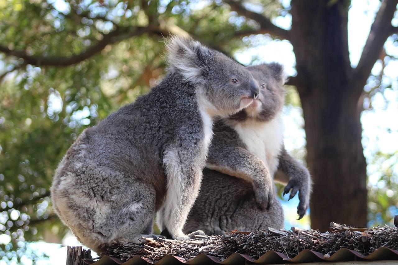 Символы австралии животные и растения