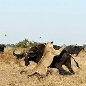 Хищные звери африки