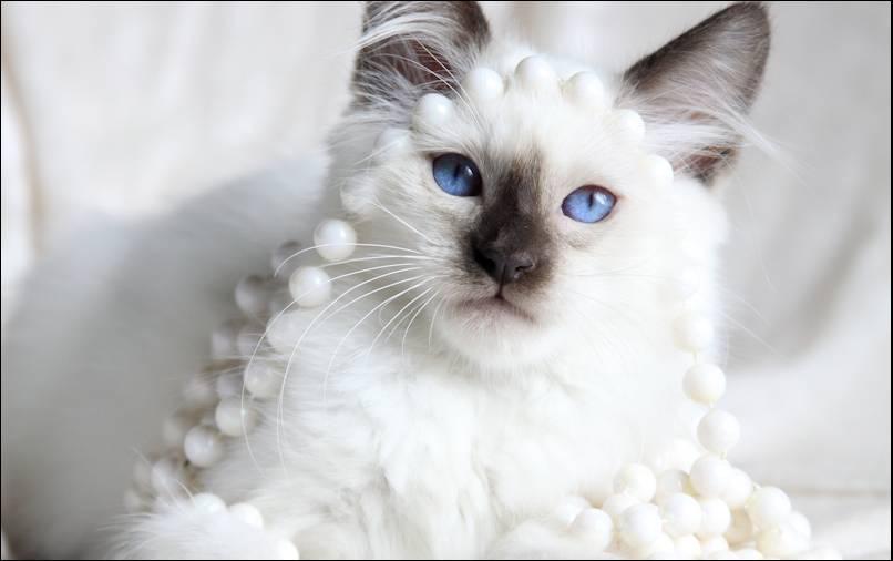 Кот балинезийской породы