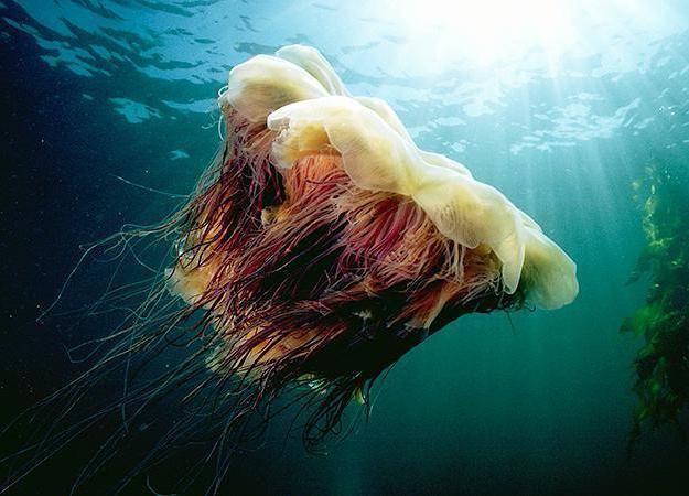 Классификация медузы