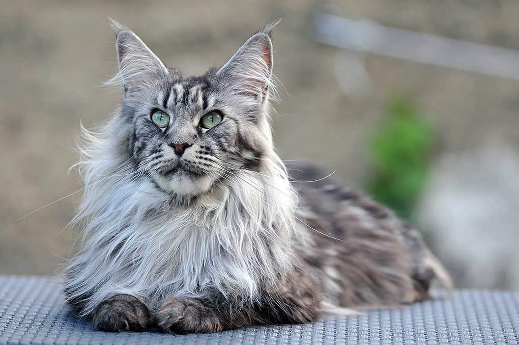 Самые добрые породы кошек топ 10