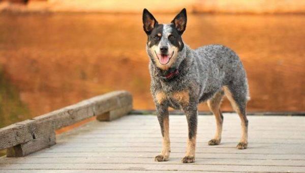 Список самых умных пород собак