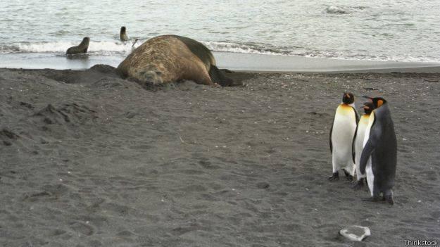 Тюлени едят пингвинов