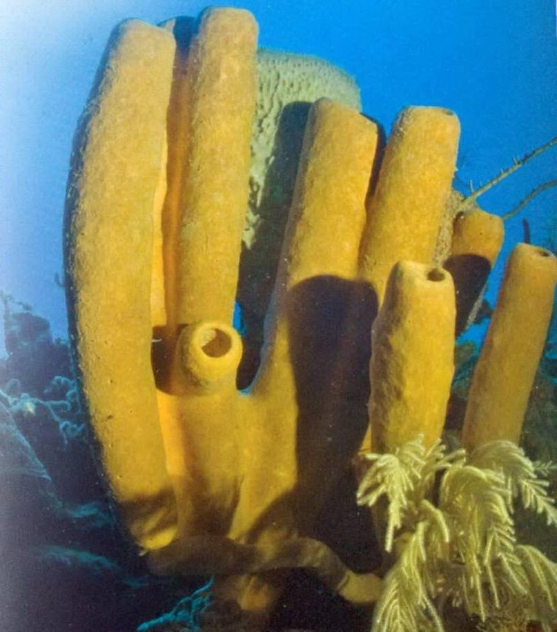 Губки морские животные