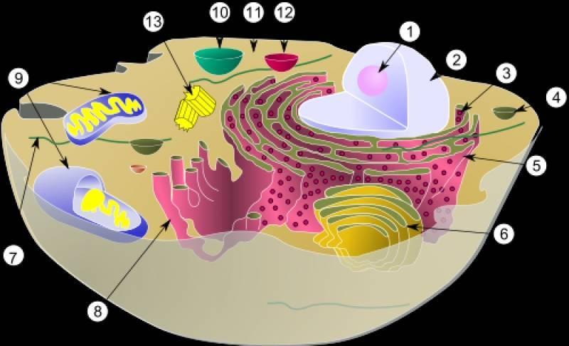 Рибосомы прокариот и эукариот