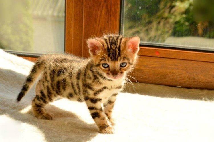 Большой бенгальский кот