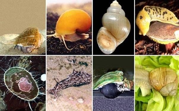 Ямкохвостые моллюски