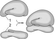 Эндоплазматическая сеть выполняет следующие функции