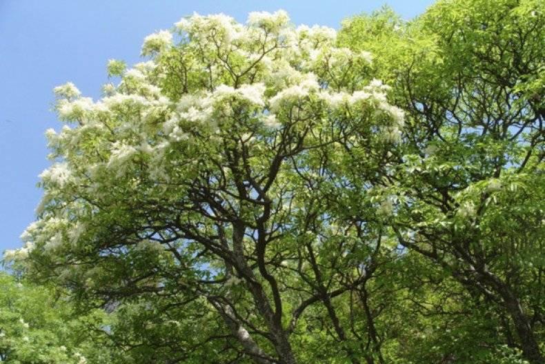 Лиственные деревья список
