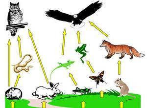 Пищевые цепочки в природе примеры