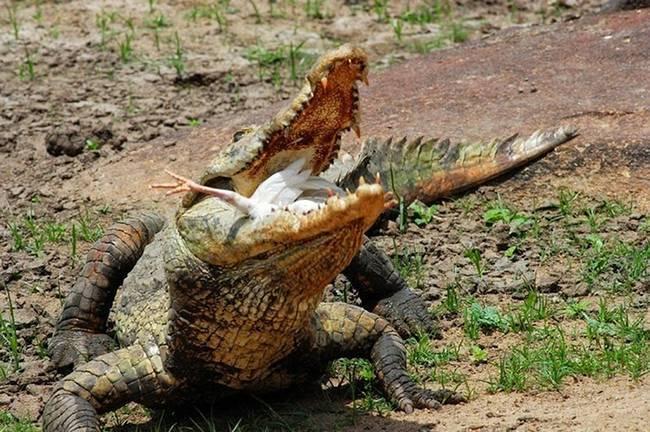 Что едят крокодилы