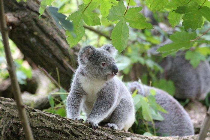 Сколько спят коалы в сутки