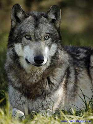 Оранжевый волк