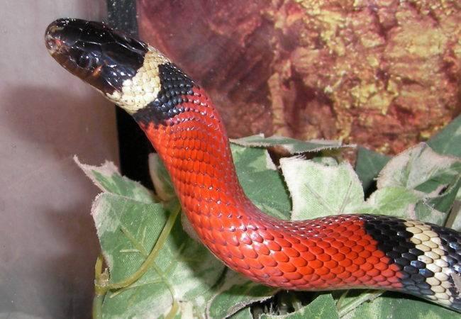 Молочная змея ядовитая или нет