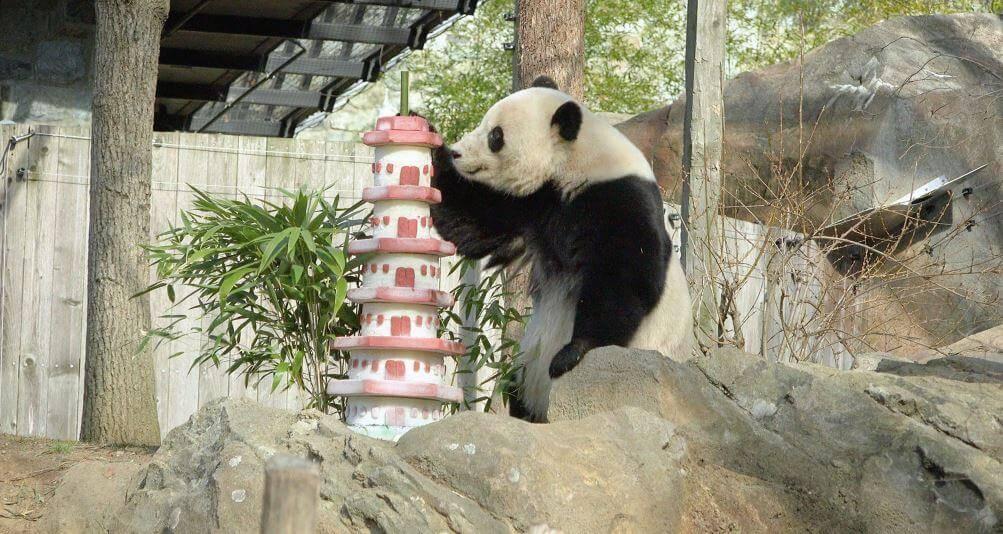 Самая большая панда в мире