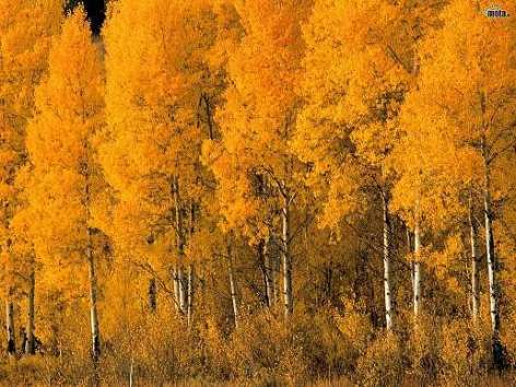 Описание осины осенью сочинение