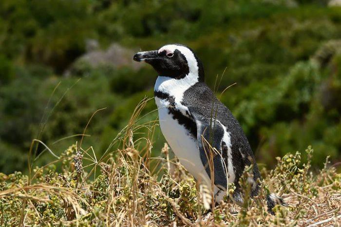 Как выглядит пингвин