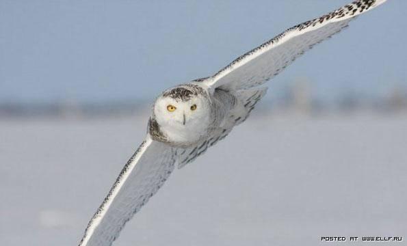 Животные тундры сообщение 4 класс белая сова