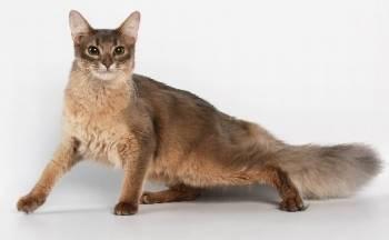 Порода кошек похожих на лису