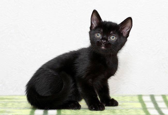 Бомбей порода кошек