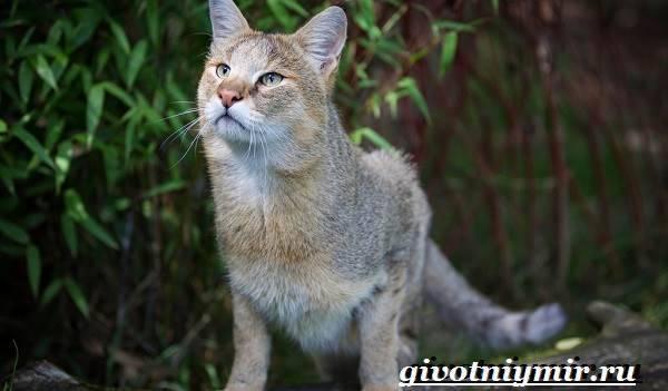 Болотная кошка фото