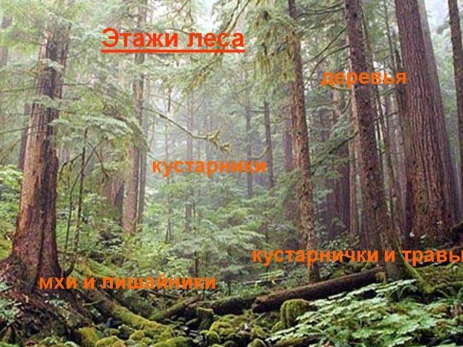Что растет в смешанных лесах