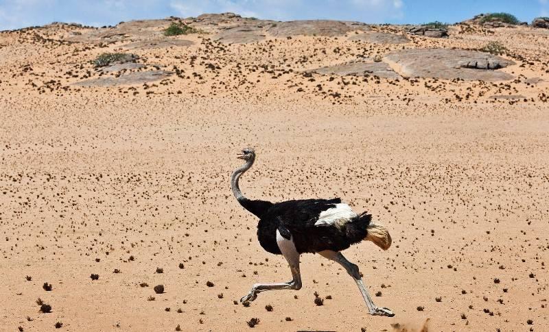 С какой скоростью бежит страус