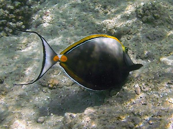 Морской носорог