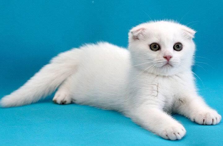 Кличка для белой кошки