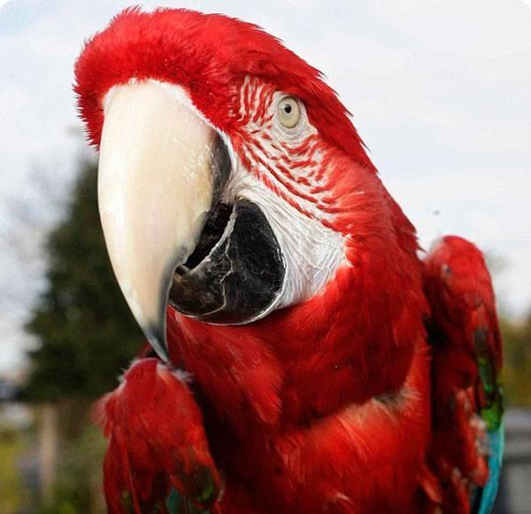 Скільки живуть попугаї