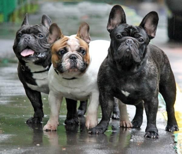 Собаки средних размеров для содержания в квартире