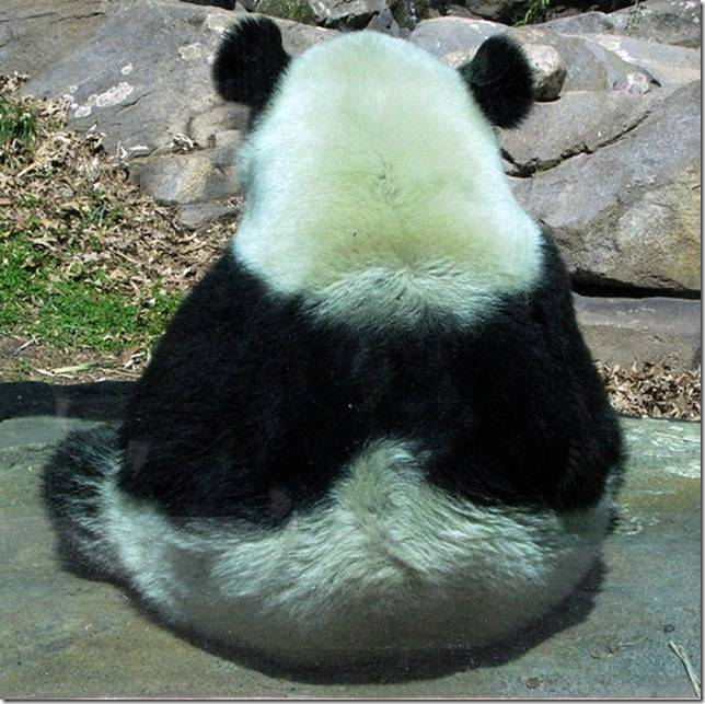 Чем питается панда в природе