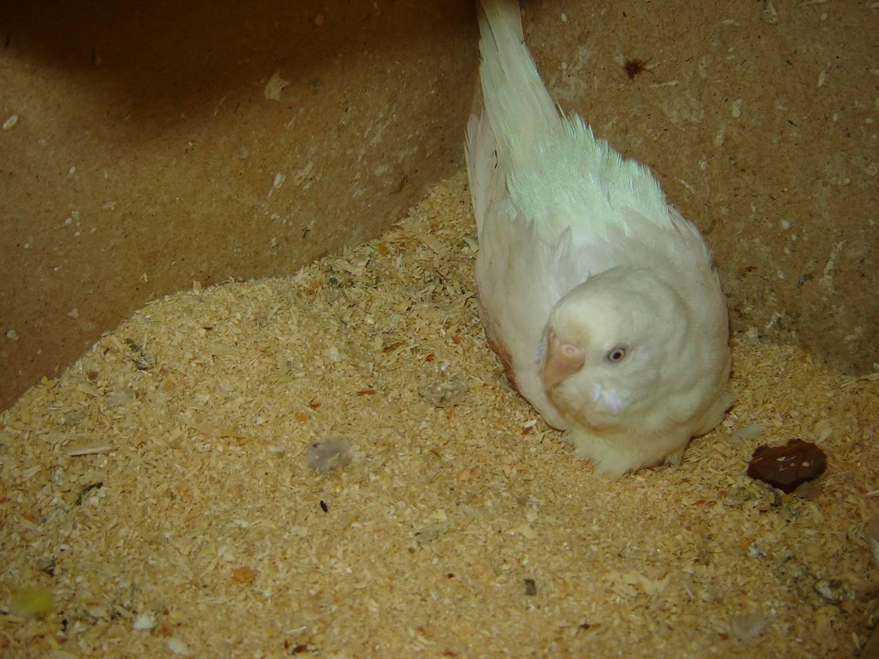 Как оплодотворяются попугаи
